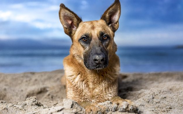 How to Care for your Dog in Heat